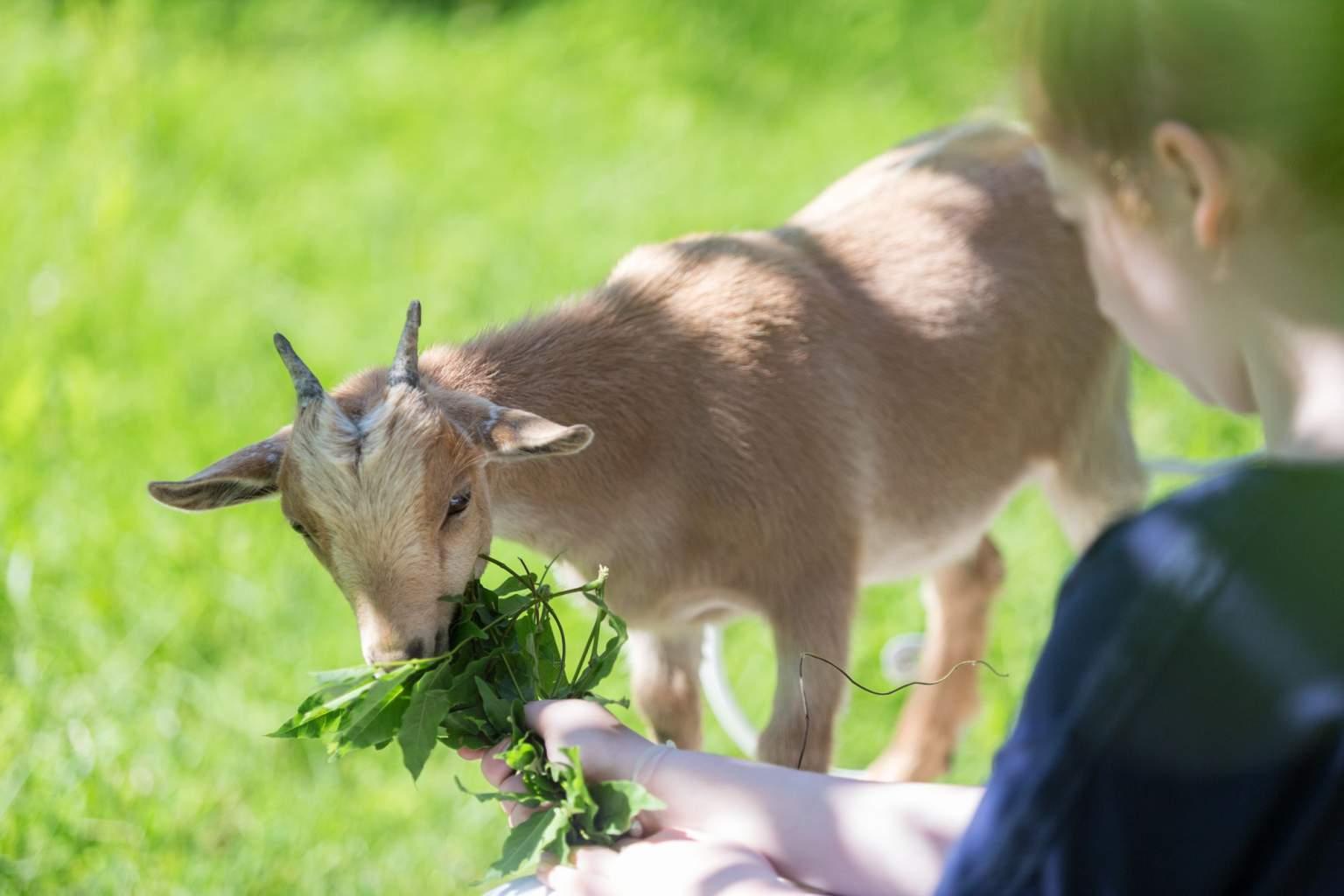 A pygmy goat